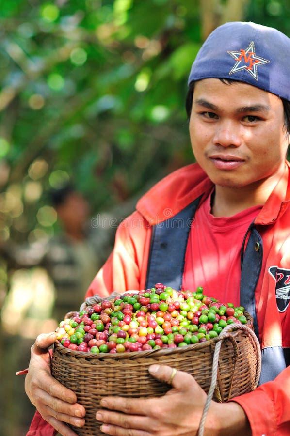 Bonden skördar kaffebär arkivbild