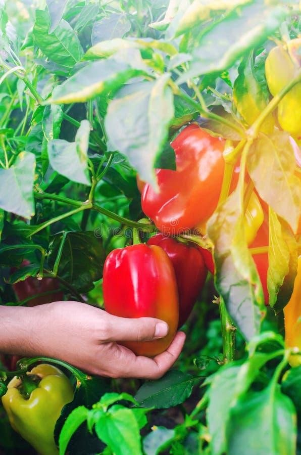 Bonden skördar pepparen i fältet Nya sunda organiska grönsaker Jordbruk royaltyfri fotografi