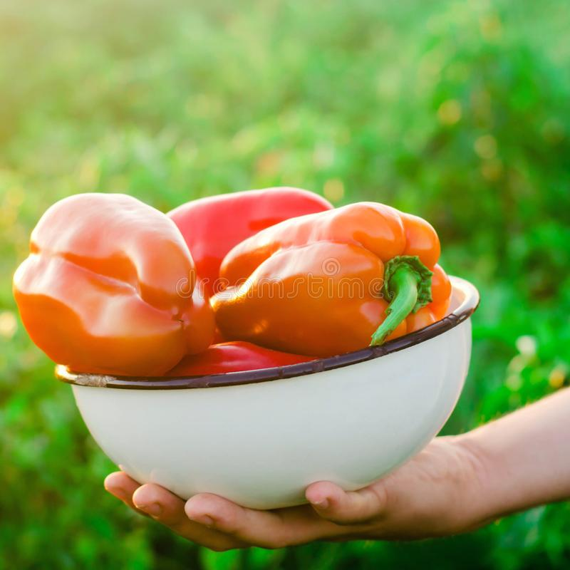 Bonden sk?rdar pepparen i f?ltet Nya sunda organiska gr?nsaker Eco v?nskapsmatchprodukter Jordbruk som brukar royaltyfria foton