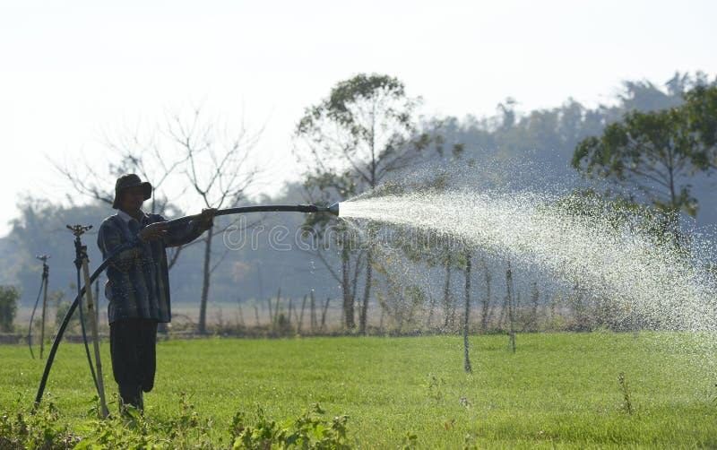Bonden som bevattnar gräslöklantgården med slangstänksprej, stänker arkivfoto