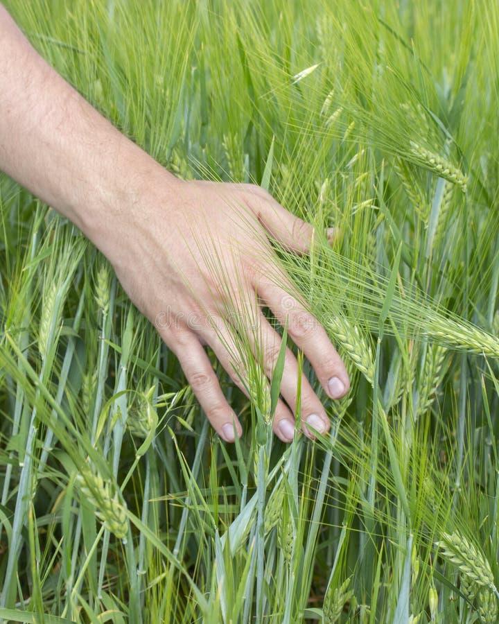 Bonden trycker på öronen av sädes- skördrågkorn Gröna spikelets av korn i en mans hand som skördar royaltyfri foto