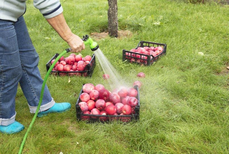 Bonden tvättar skörden av röda mogna äpplen från en sprejare arkivfoton
