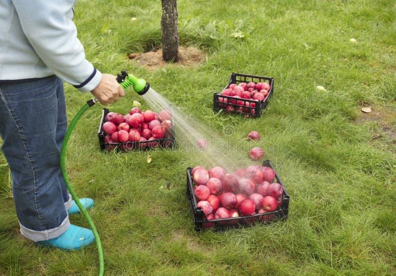 Bonden tvättar skörden av röda mogna äpplen från en sprejare arkivbilder