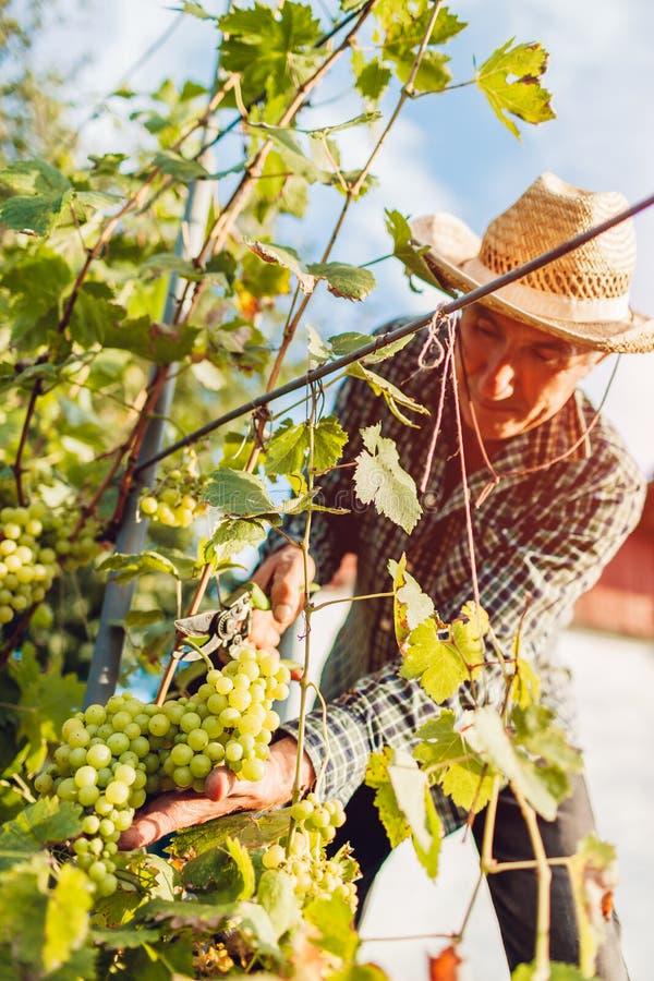 Bondesammankomstskörd av druvor på ekologisk lantgård Bitande druvor för hög man med pruner royaltyfri foto