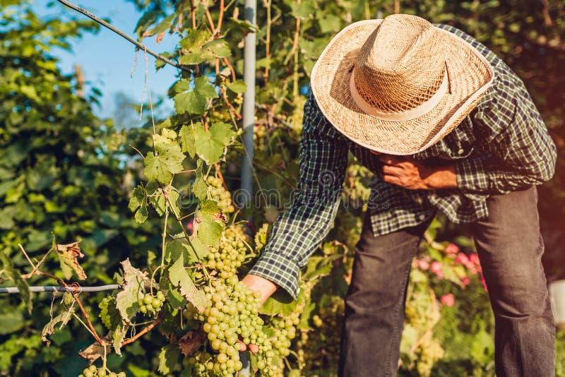 Bondesammankomstskörd av druvor på ekologisk lantgård Bitande druvor för hög man med pruner royaltyfri bild