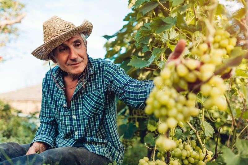 Bondesammankomstsk?rd av druvor p? ekologisk lantg?rd H?g man som klipper vita druvor med pruner royaltyfri foto