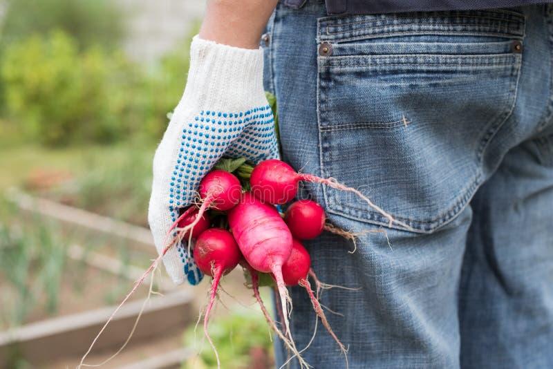 BondeWith Freshly Picked grönsaker av mogna rädisor royaltyfria foton