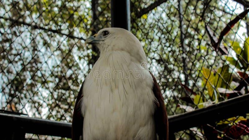 Bondol Eagle tittar vänster i Batu hemliga zoo arkivbilder