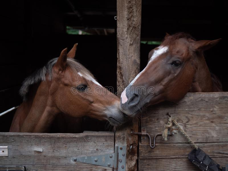 bonds horses two showing affection towards each other adjacent stables