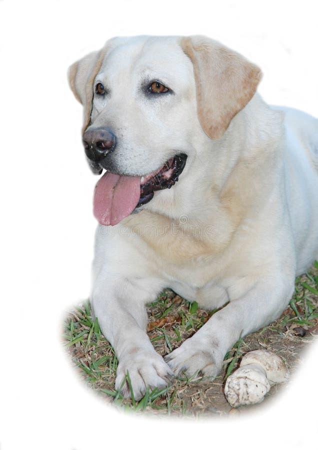 bone его labrador франтовской стоковые фото