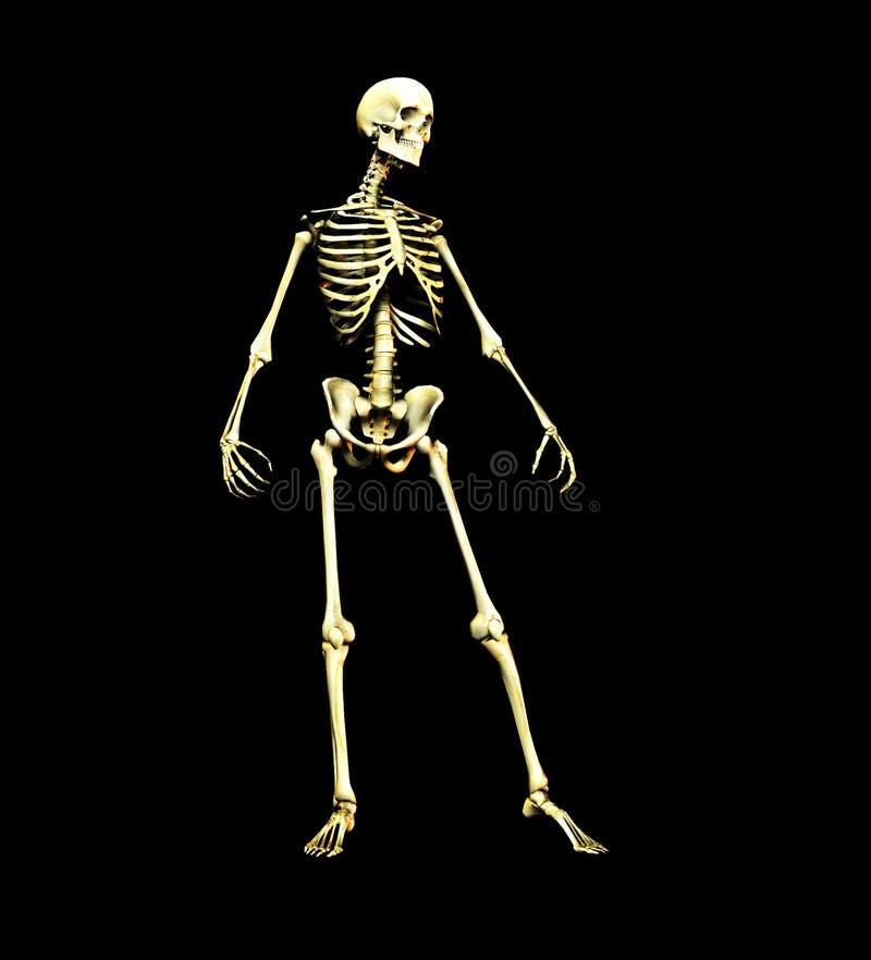 Bone Free Stock Images