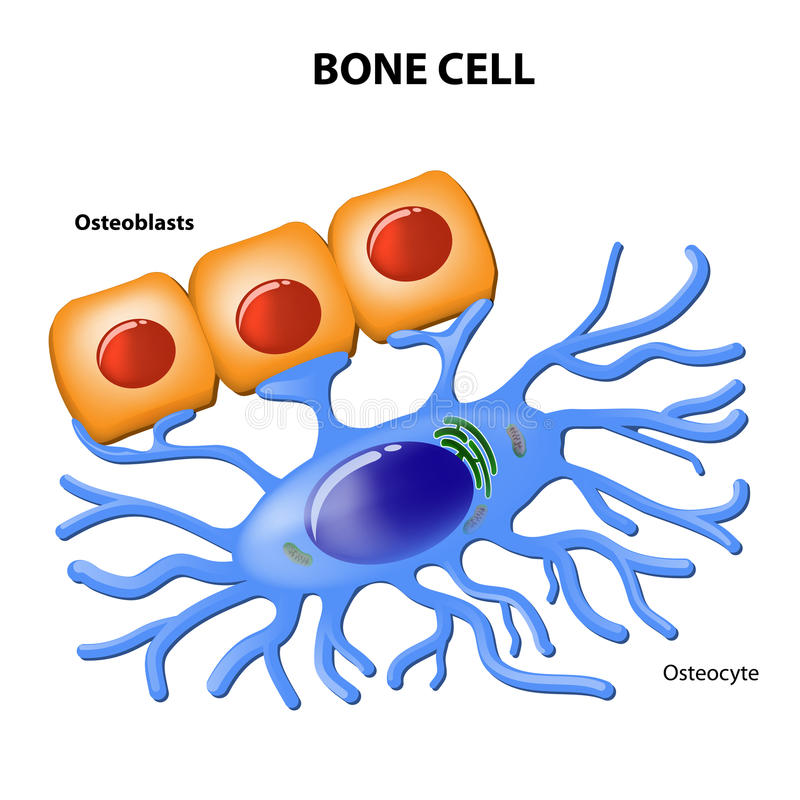 Bone cells. Osteoblasts and osteocyte stock illustration
