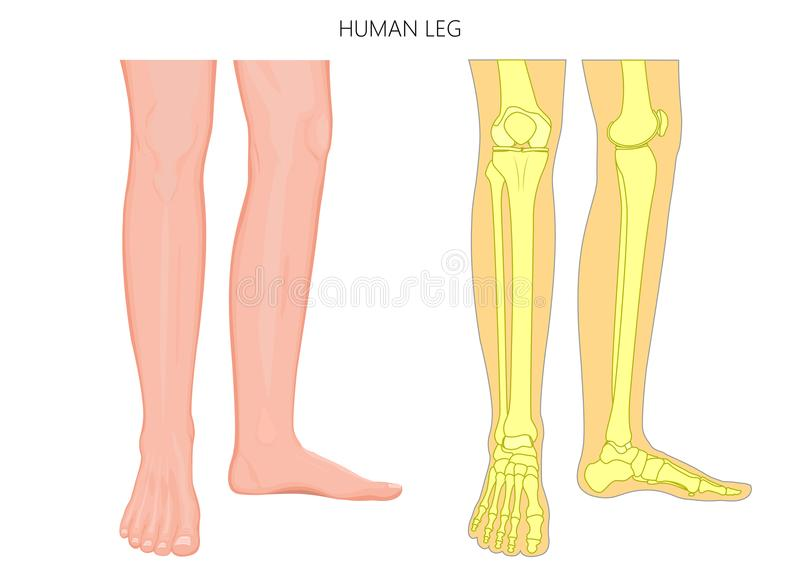 Bone Fracture_Human Leg Anatomy And Skeleton Stock Vector ...