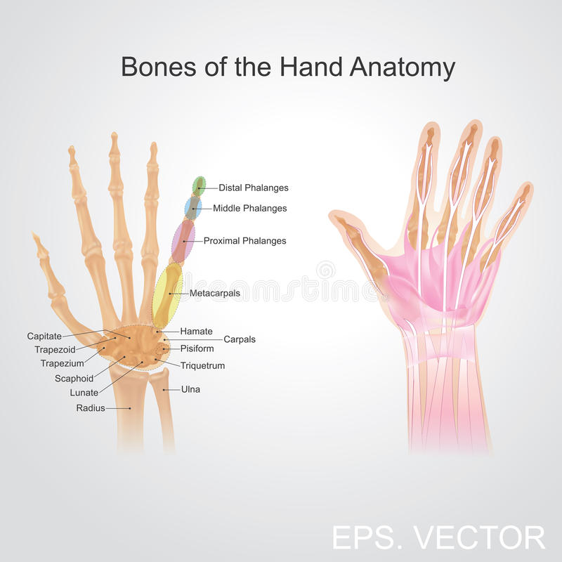 Bone of the hand anatomy. royalty free illustration