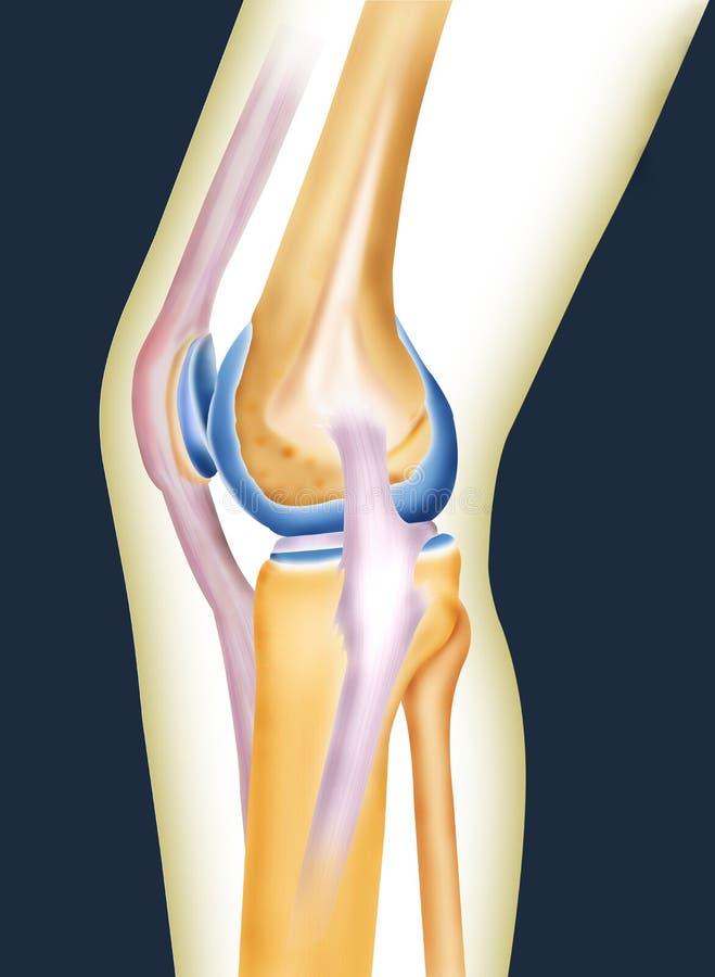 Bone knee. Joint of men created by computer illustration vector illustration