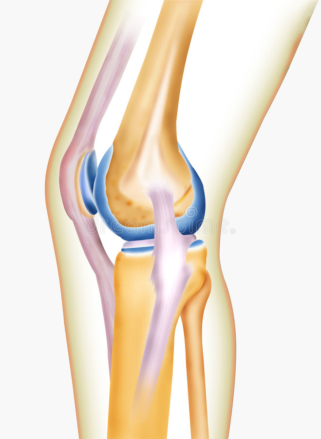 Bone knee. Joint of men created by computer illustration in isolate