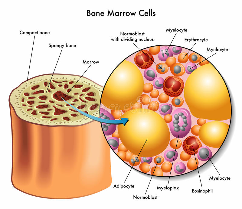 Bone marrow cells royalty free illustration