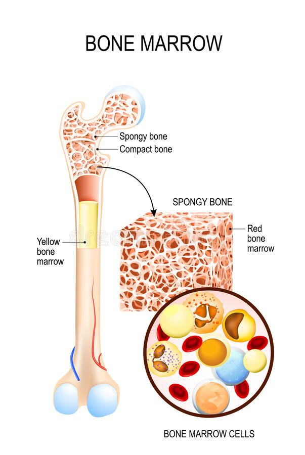 Bone Marrow Yellow, Red and blood cells. Erythrocyte, lymphocyte, monocyte, esinophil, basophil, neurophil. Vector diagram for your design, educational royalty free illustration