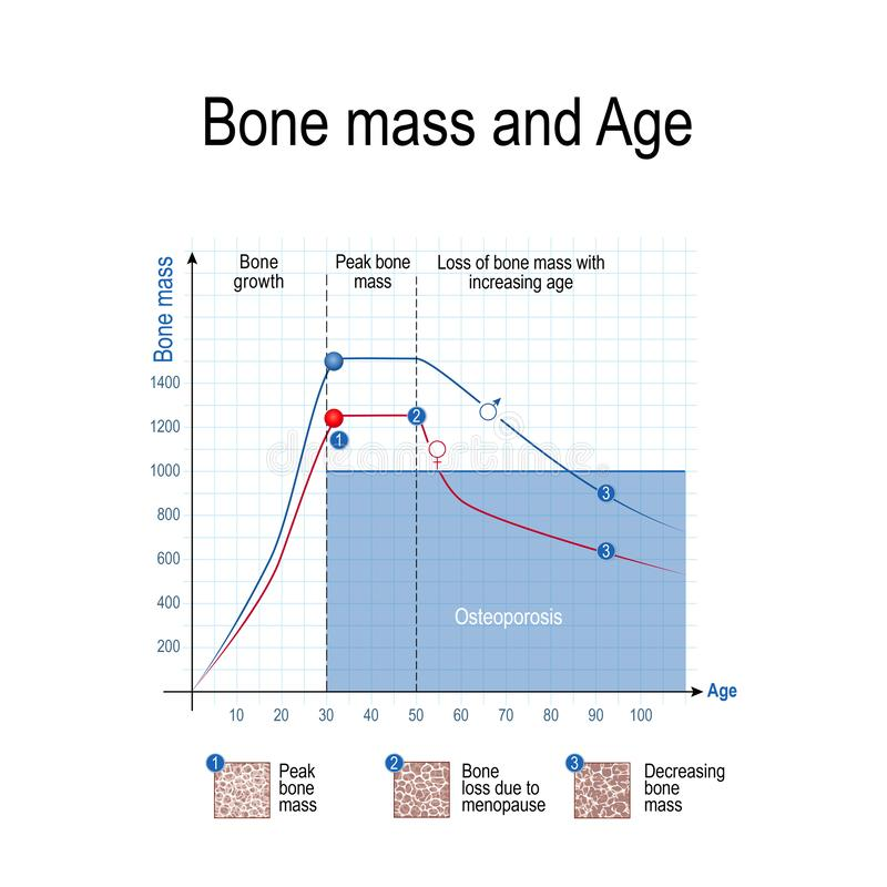 Bone mass for male and female. Age and osteoporosis. Chart. Healthy lifestyle. Vector illustration for educational, science and medical use royalty free illustration