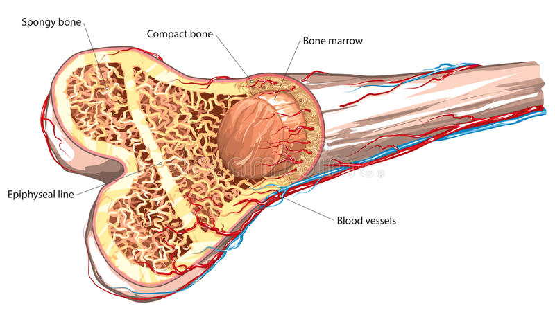 Bone structure stock illustration