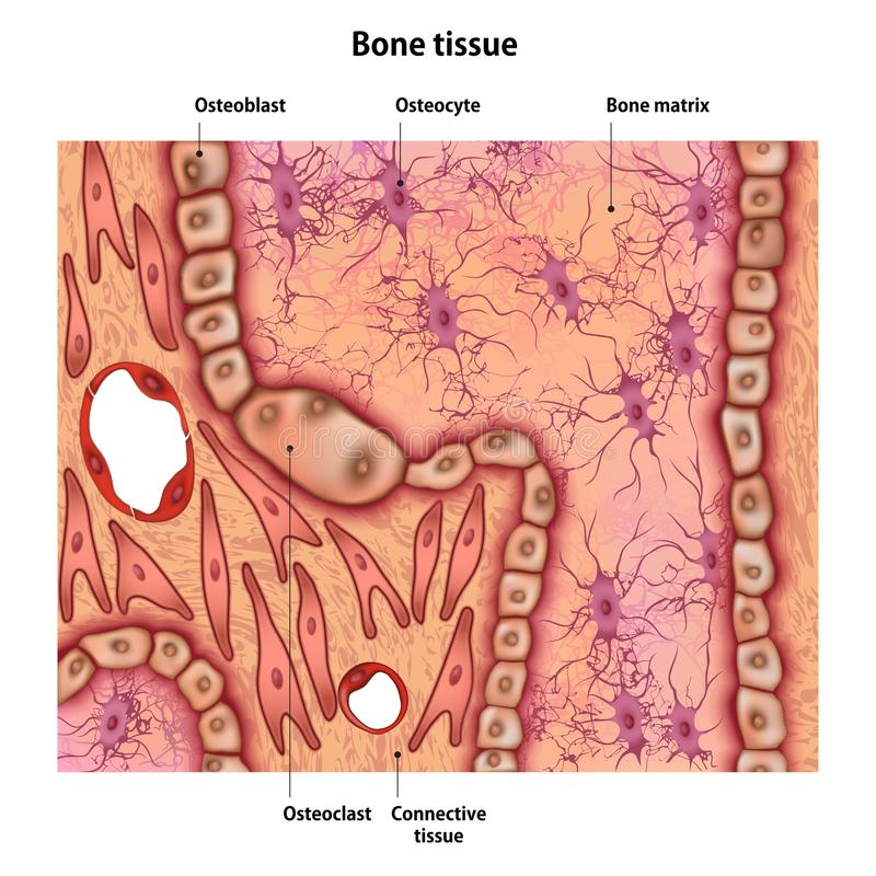 Bone tissue with the name. And description of all sites vector illustration