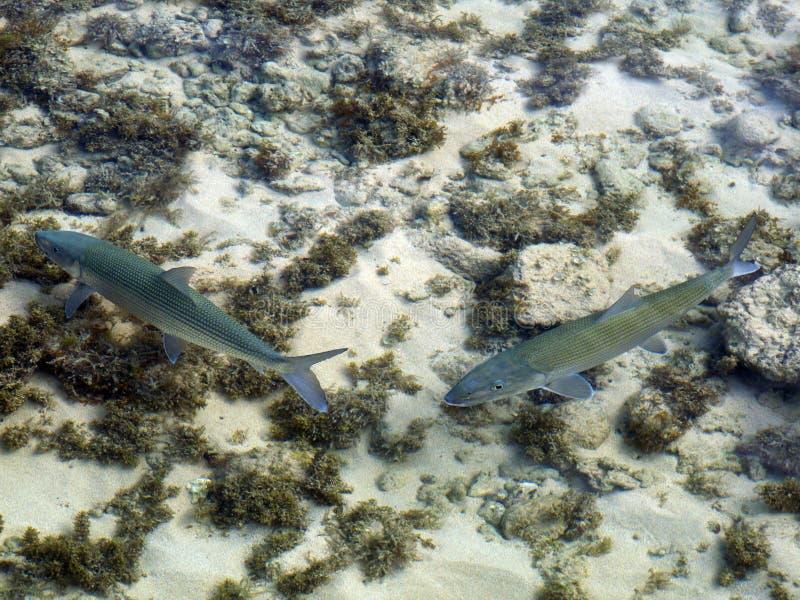 bonefish arkivfoton