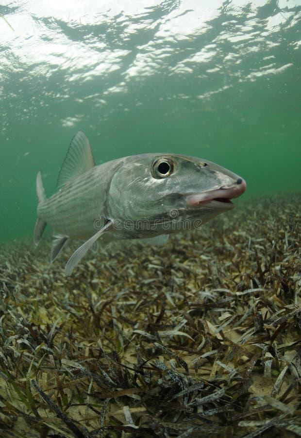 Bonefish fotografia de stock royalty free