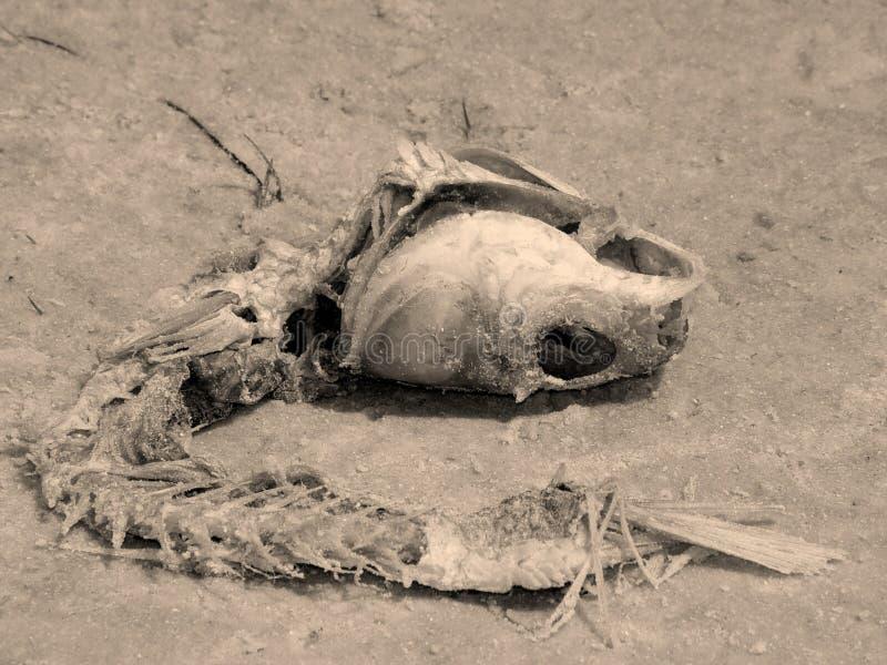 Bonefish Στοκ Εικόνα