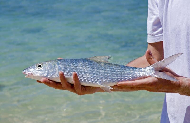Bonefish stock foto