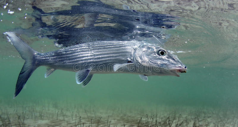 BONEFISH HOOK ON FLY. Bonefish is a most popular gamefish for saltwater fly fishing in flats found in tropical water in carribean sand pacific royalty free stock images
