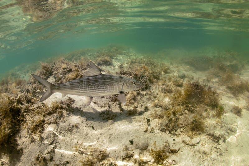 Bonefish subaquático imagem de stock royalty free