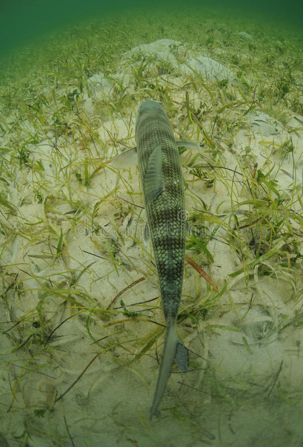 Bonefish is swimming in the grass flats ocean stock photos
