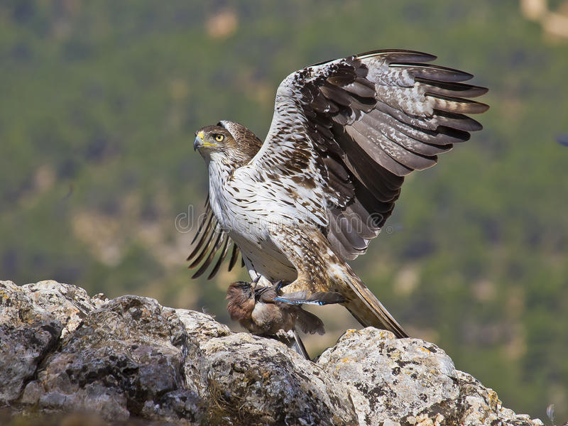 Bonelli eagle royalty free stock photos