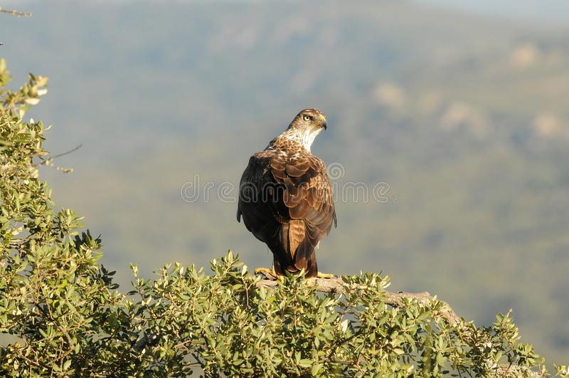 Bonelli`s eagle poses with its territory in sight stock photography