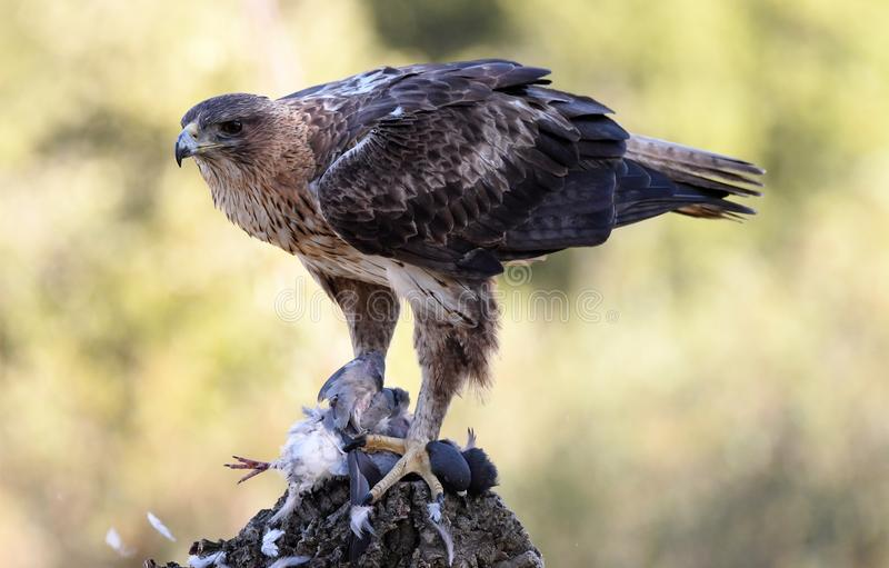 Bonelli`s eagle with a prey. In its watchtower stock photos