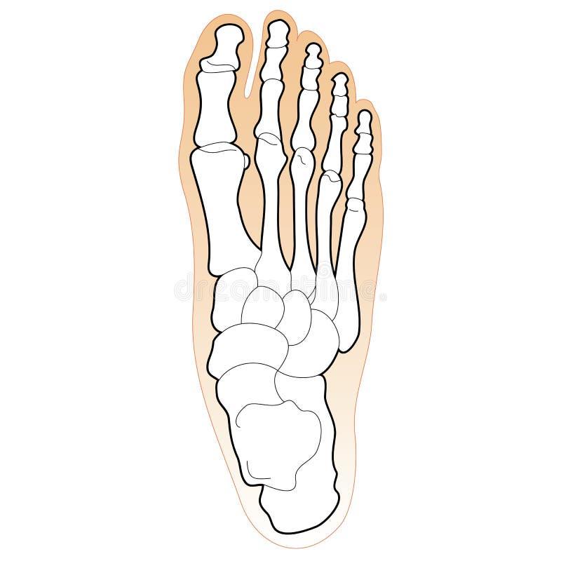 bones человек ноги иллюстрация штока