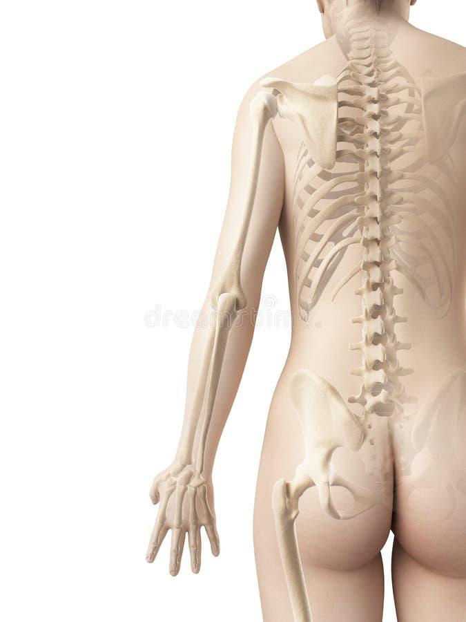 Bones of the arm royalty free illustration
