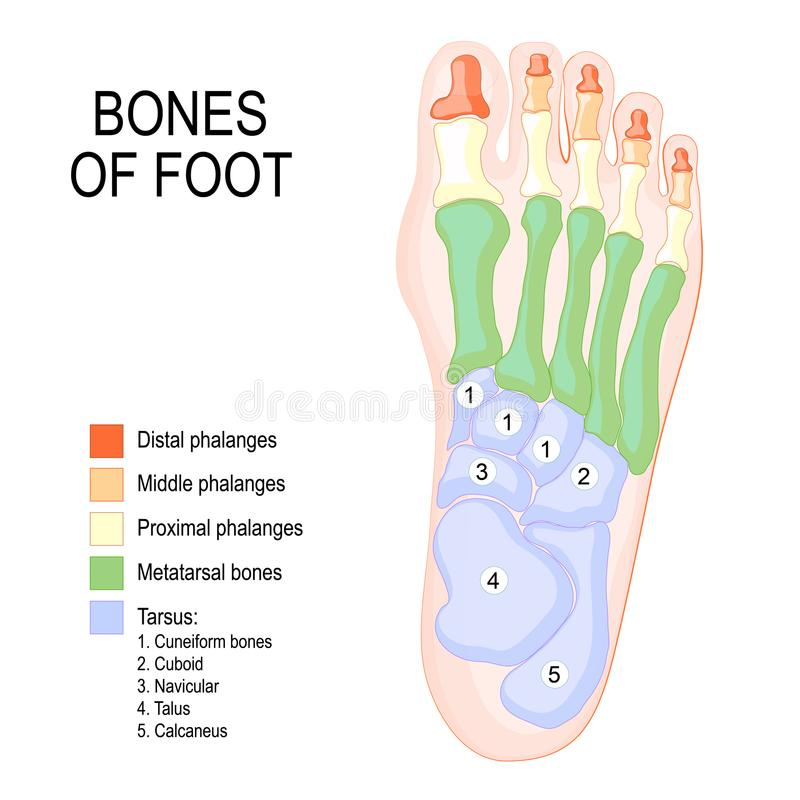 Bones of foot. Human Anatomy. The diagram shows the placement and names of all vector illustration