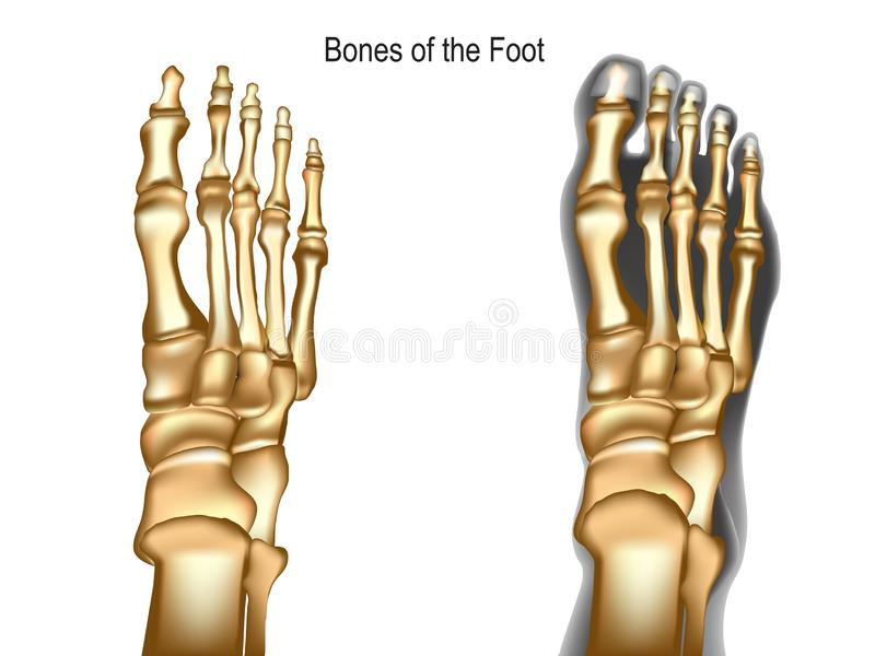 Bones the of foot. Realistic skeleton of human leg with visualization bones of transparente foot. Anatomy of joints, dorsal view. For advertising or medical vector illustration