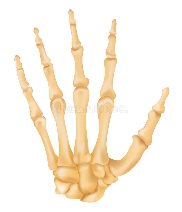 Bones of the Hand royalty free illustration