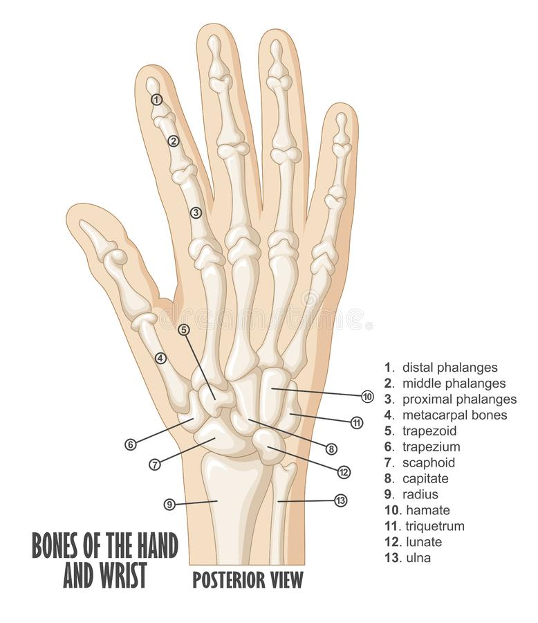 Bones of the hand and wrist anatomy vector illustration