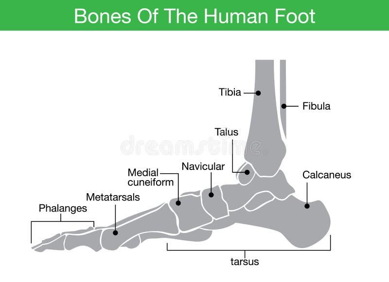 Bones of the human foot stock illustration