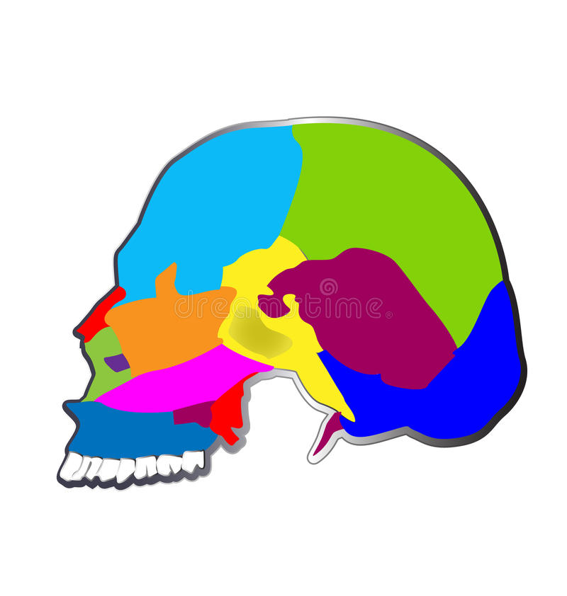 The bones of the human skull. Functions, structure and anatomy of skull vector vector illustration