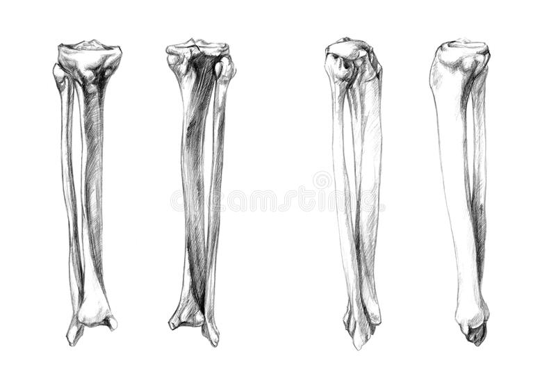 Bones of leg (fibula, tibia) vector illustration
