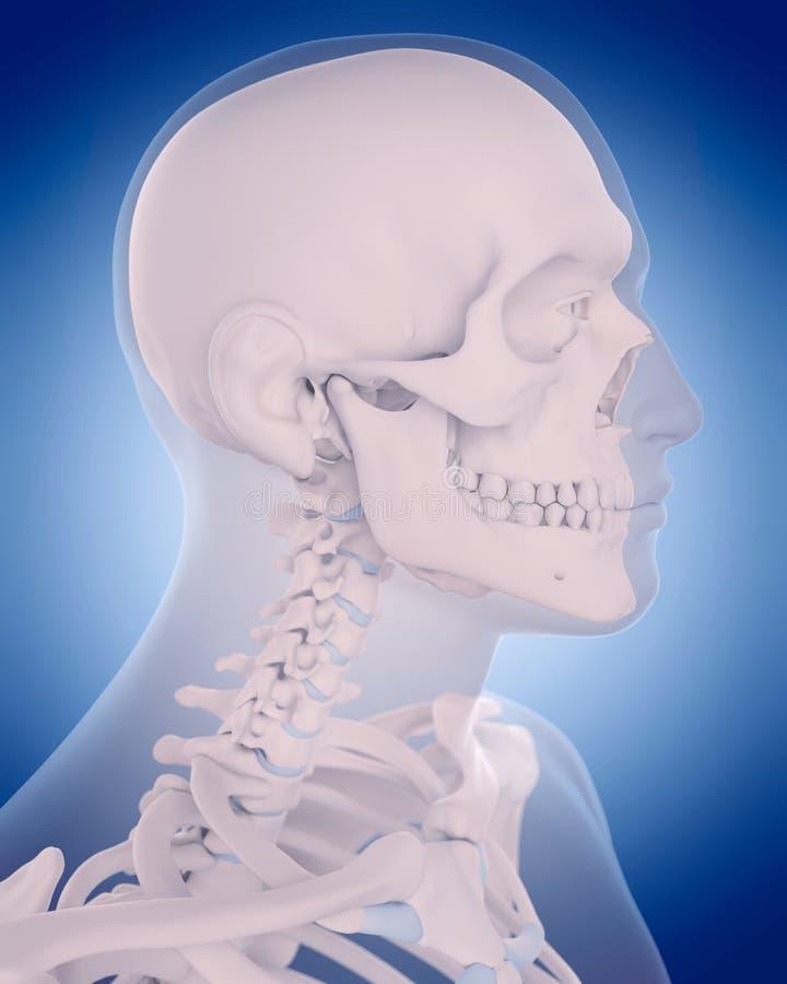 Bones of the neck vector illustration