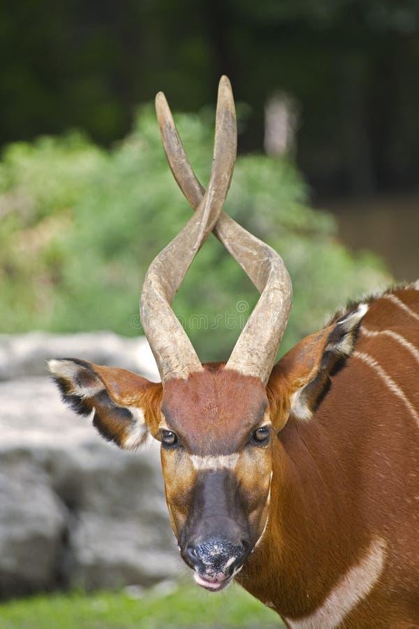 Bongo royalty-vrije stock foto's