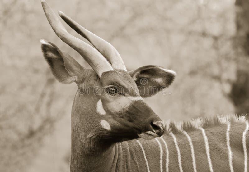 Bongo στοκ φωτογραφίες με δικαίωμα ελεύθερης χρήσης