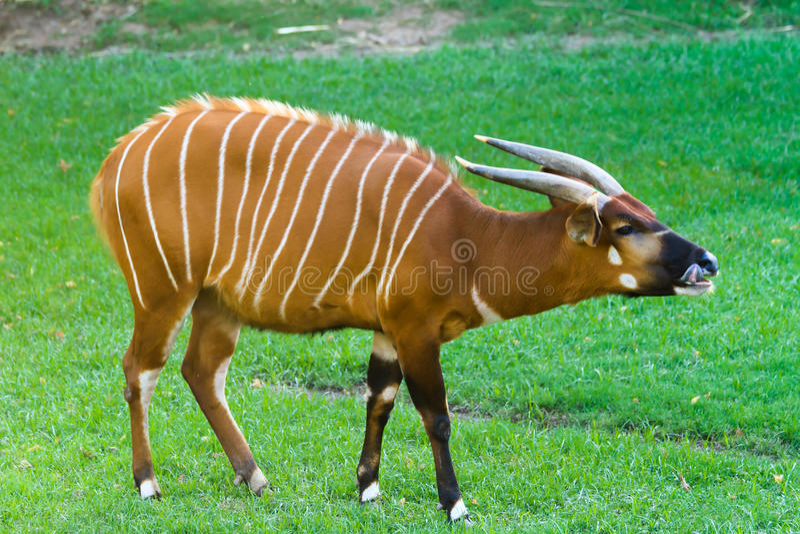 Bongo. Adult eastern bongo on the grass royalty free stock image