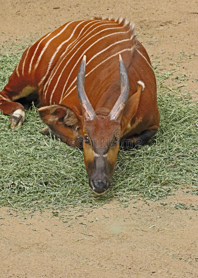 Bongo. Close Up Portrait of African Antelope royalty free stock images