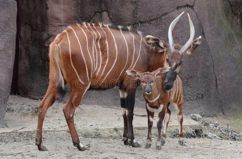 Bongo mother and calf. A mother bongo protects her calf royalty free stock photos